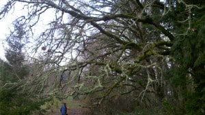 Oregon oak trees