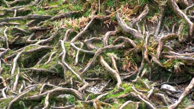 Healthy Tree Roots Can Tell The Future of Your Trees