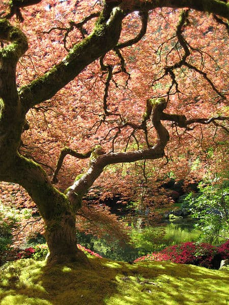Japanese Maple at the Japanese Garden in Portland.