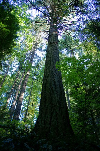 398px-An_old_growth_douglas_fir_towers_in_an_old_growth_forest